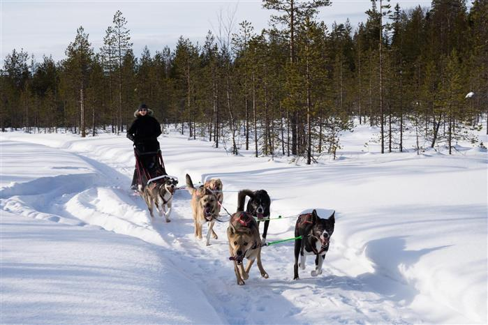 Rachel and the Striders Adventures team of rehomed sled dogs